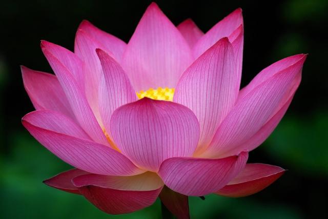 pink lotus flower 10